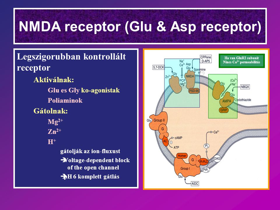 NMDA receptor (Glu & Asp receptor) Legszigorubban kontrollált receptor Aktiválnak: Glu es Gly ko-agonistak Poliaminok Gátolnak: Mg 2+ Zn 2+ H+H+ gátolják az ion-fluxust  Voltage-dependent block of the open channel  pH 6 komplett gátlás Ha van GluR2 subunit Nincs Ca 2+ permeabilitás