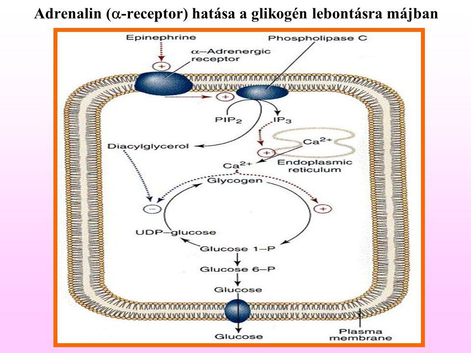 Adrenalin (  -receptor) hatása a glikogén lebontásra májban