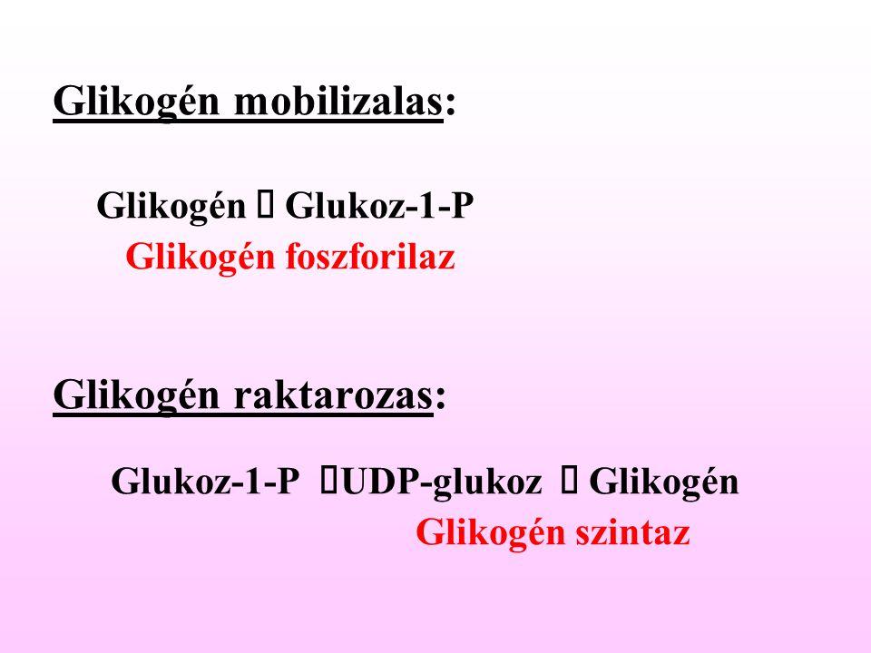 Glikogén mobilizalas: Glikogén  Glukoz-1-P Glikogén foszforilaz Glikogén raktarozas: Glukoz-1-P  UDP-glukoz  Glikogén Glikogén szintaz