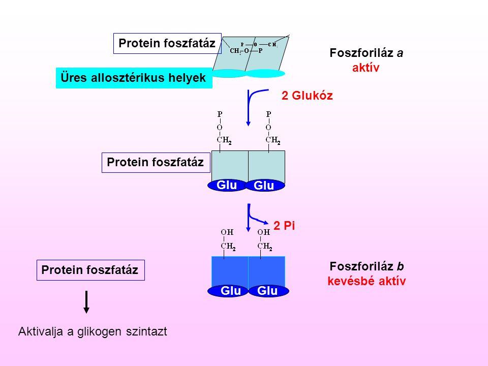 Glu 2 Pi 2 Glukóz Üres allosztérikus helyek Foszforiláz a aktív Foszforiláz b kevésbé aktív Protein foszfatáz Aktivalja a glikogen szintazt