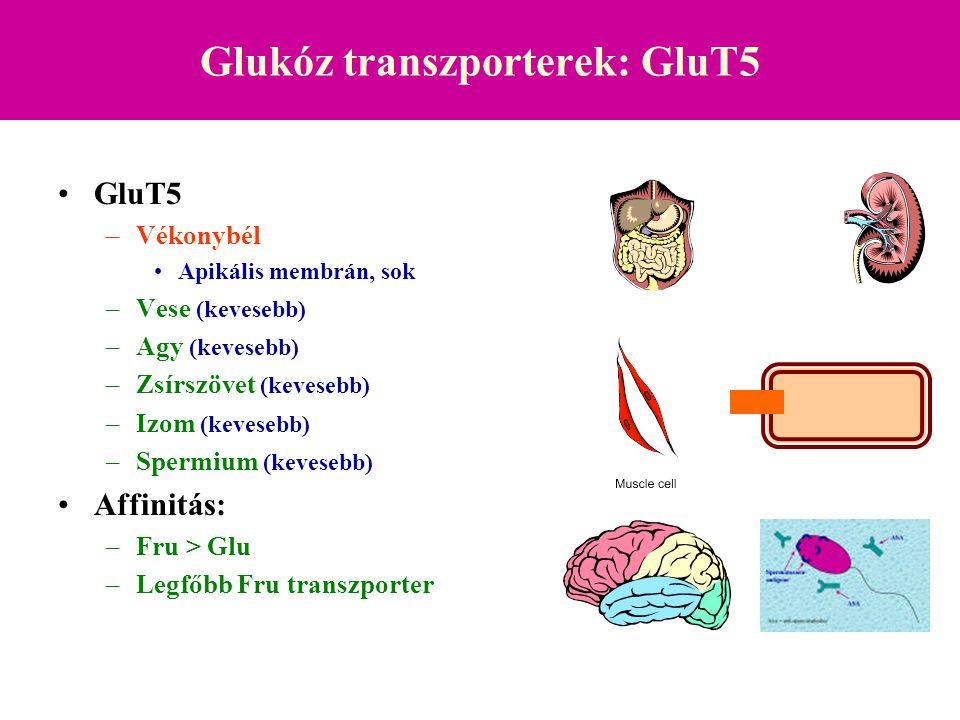 Glukóz transzporterek (GluT1-5): GluT7 GluT7 –Májból izolált izoforma cDNS könyvtárból Endoplazmás retikulum szignál szekvencia Glukóz 6-P  Glukóz transzporter
