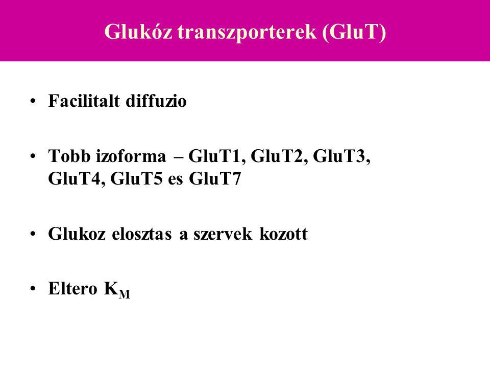 Glukóz transzporterek: GluT1 GluT1 Csaknem minden sejtben expresszálódik eltérő mértékben  bazális glukóz transzport - Agy endothel - folyamatos glukóz áramlás az agyba - Placenta, Testis, vvt Km 5-10 mM Hipoxiában –aktiváció –GluT1 transzkripció