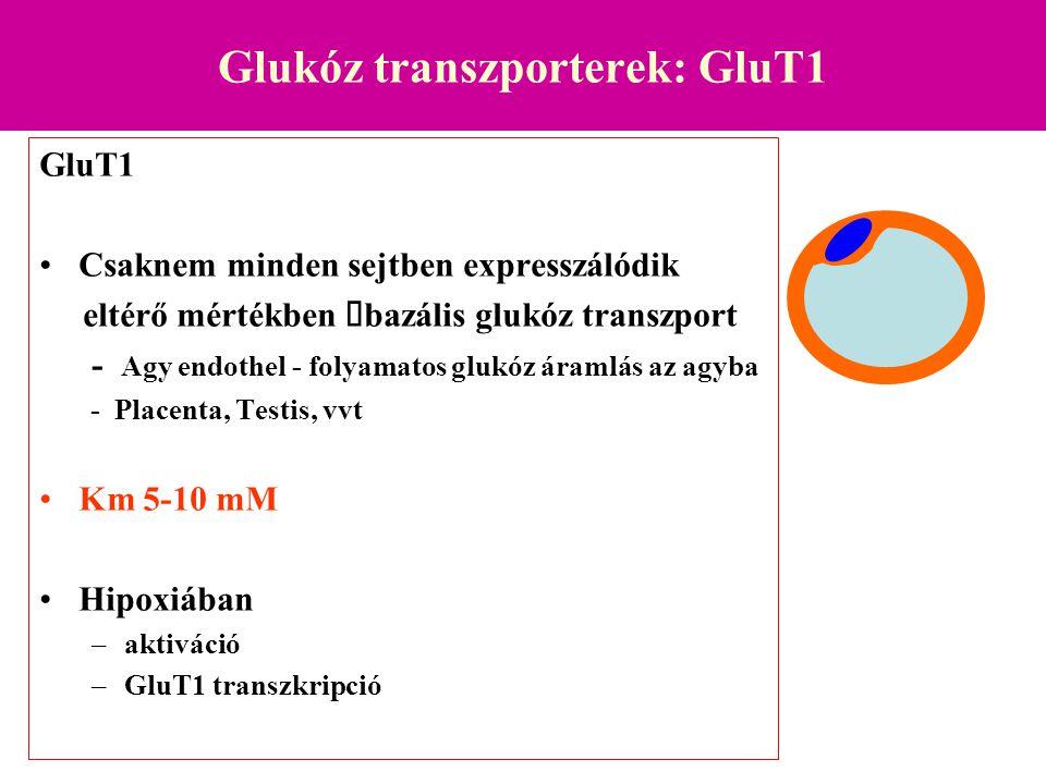 Glukóz transzporterek: GluT2 GluT2 –Bél (basolaterális membrán) –Máj –Vese –Pancreas  -sejtek Csökkent expresszió diabetesben.