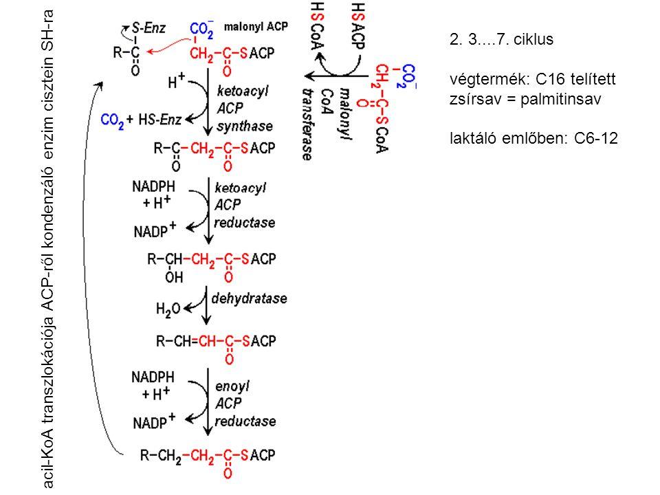 acil-KoA transzlokációja ACP-ről kondenzáló enzim cisztein SH-ra 2. 3....7. ciklus végtermék: C16 telített zsírsav = palmitinsav laktáló emlőben: C6-1