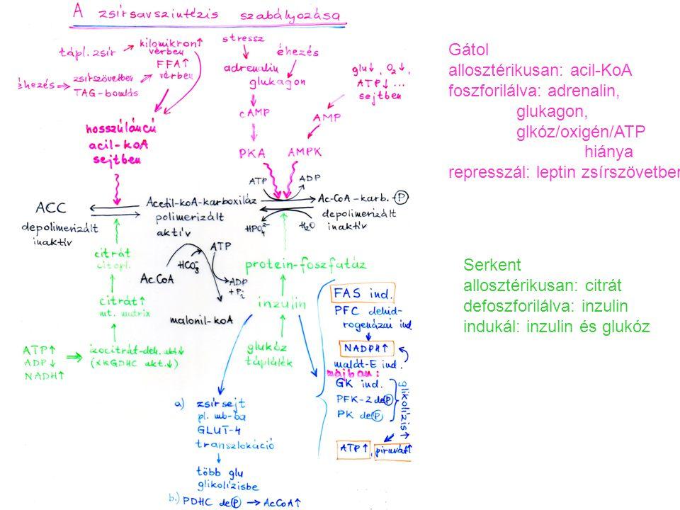 Gátol allosztérikusan: acil-KoA foszforilálva: adrenalin, glukagon, glkóz/oxigén/ATP hiánya represszál: leptin zsírszövetben Serkent allosztérikusan: