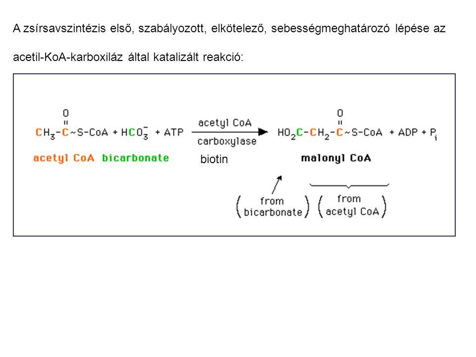 A zsírsavszintézis első, szabályozott, elkötelező, sebességmeghatározó lépése az acetil-KoA-karboxiláz által katalizált reakció: biotin