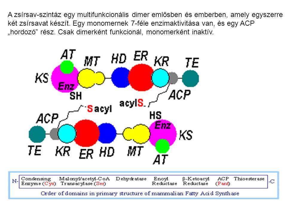 A zsírsav-szintáz egy multifunkcionális dimer emlősben és emberben, amely egyszerre két zsírsavat készít. Egy monomernek 7-féle enzimaktivitása van, é