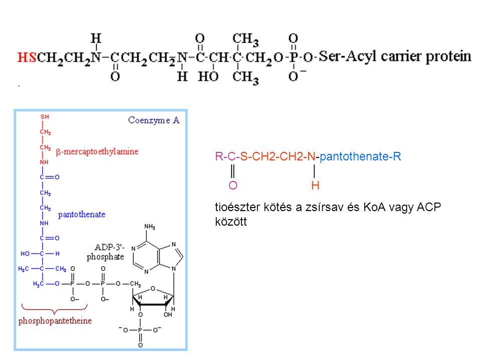 R-C-S-CH2-CH2-N-pantothenate-R ║│ OH tioészter kötés a zsírsav és KoA vagy ACP között