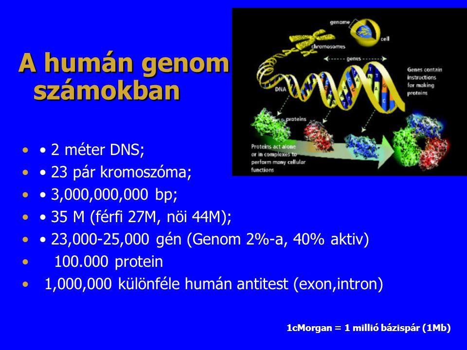 A humán genom számokban 2 méter DNS; 23 pár kromoszóma; 3,000,000,000 bp; 35 M (férfi 27M, nöi 44M); 23,000-25,000 gén (Genom 2%-a, 40% aktiv) 100.000