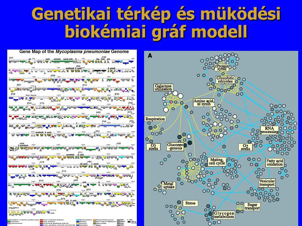 Genetikai térkép és müködési biokémiai gráf modell