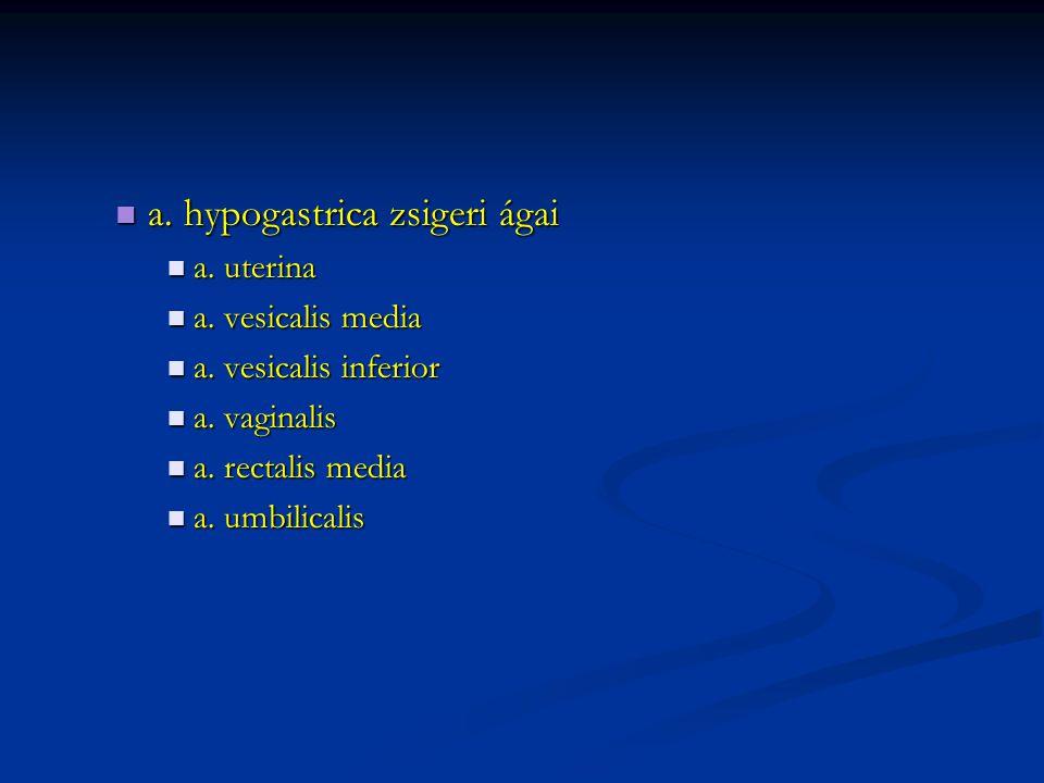 a. hypogastrica zsigeri ágai a. hypogastrica zsigeri ágai a. uterina a. uterina a. vesicalis media a. vesicalis media a. vesicalis inferior a. vesical