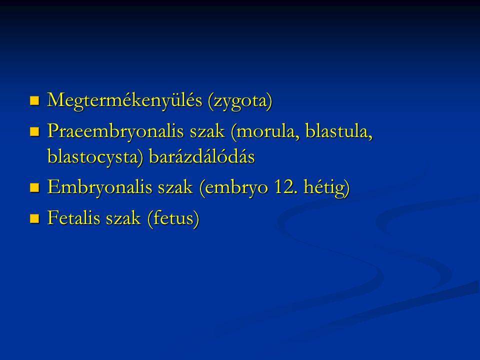 Megtermékenyülés (zygota) Megtermékenyülés (zygota) Praeembryonalis szak (morula, blastula, blastocysta) barázdálódás Praeembryonalis szak (morula, bl