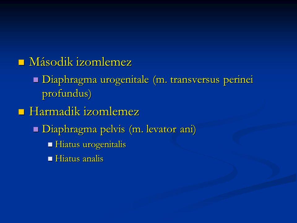 Második izomlemez Második izomlemez Diaphragma urogenitale (m.
