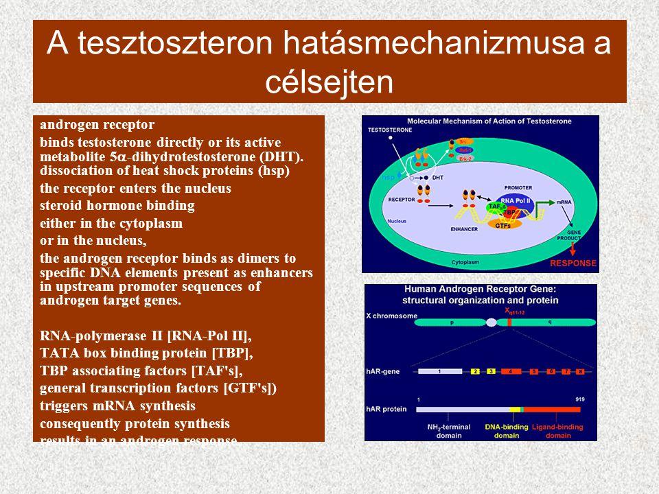 A tesztoszteron hatásmechanizmusa a célsejten androgen receptor binds testosterone directly or its active metabolite 5  -dihydrotestosterone (DHT). d