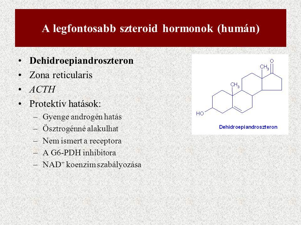 A legfontosabb szteroid hormonok (humán) Dehidroepiandroszteron Zona reticularis ACTH Protektív hatások: –Gyenge androgén hatás –Ösztrogénné alakulhat
