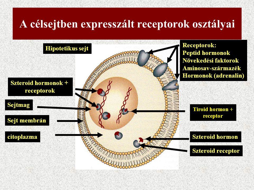 A célsejtben expresszált receptorok osztályai Hipotetikus sejt citoplazma Sejt membrán Sejtmag Szteroid hormonok + receptorok Szteroid hormon Szteroid