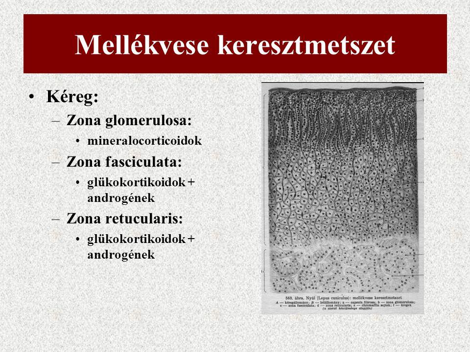 Mellékvese keresztmetszet Kéreg: –Zona glomerulosa: mineralocorticoidok –Zona fasciculata: glükokortikoidok + androgének –Zona retucularis: glükokorti