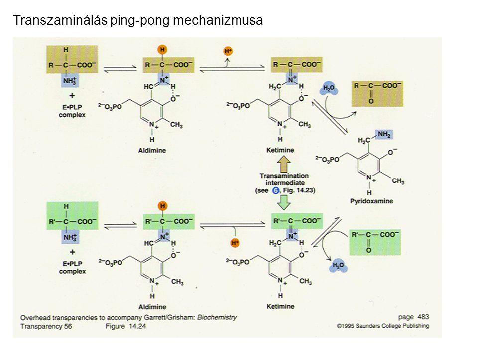 Transzaminálás ping-pong mechanizmusa
