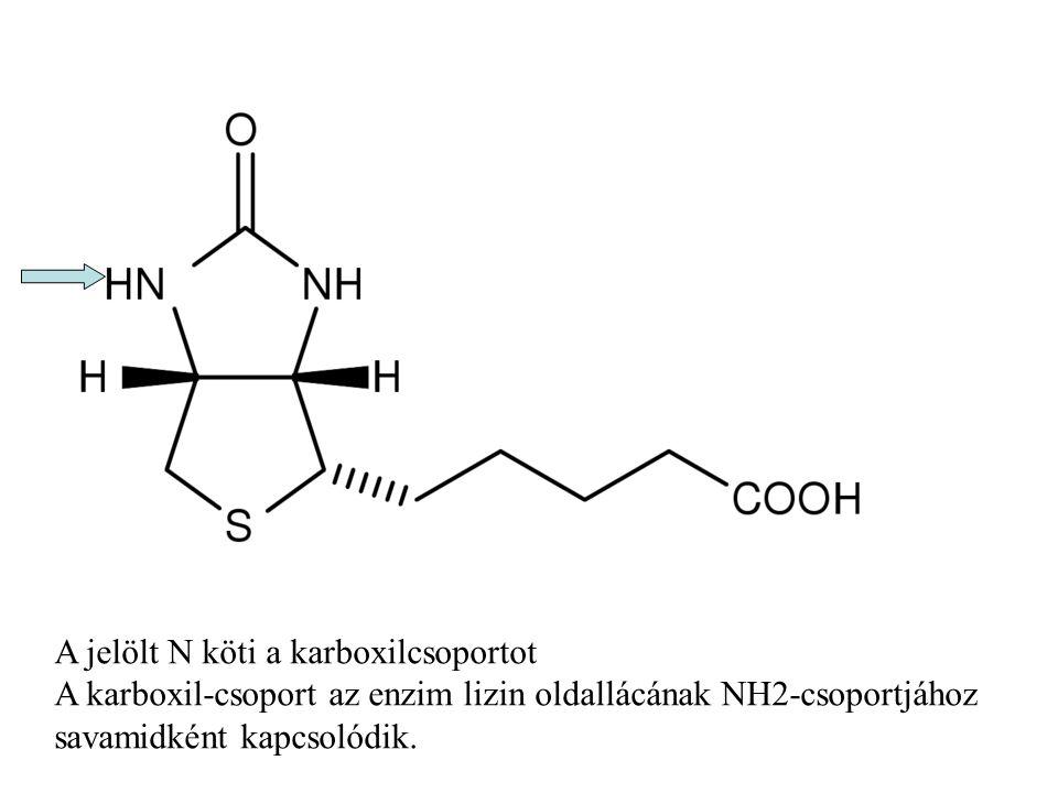 A jelölt N köti a karboxilcsoportot A karboxil-csoport az enzim lizin oldallácának NH2-csoportjához savamidként kapcsolódik.
