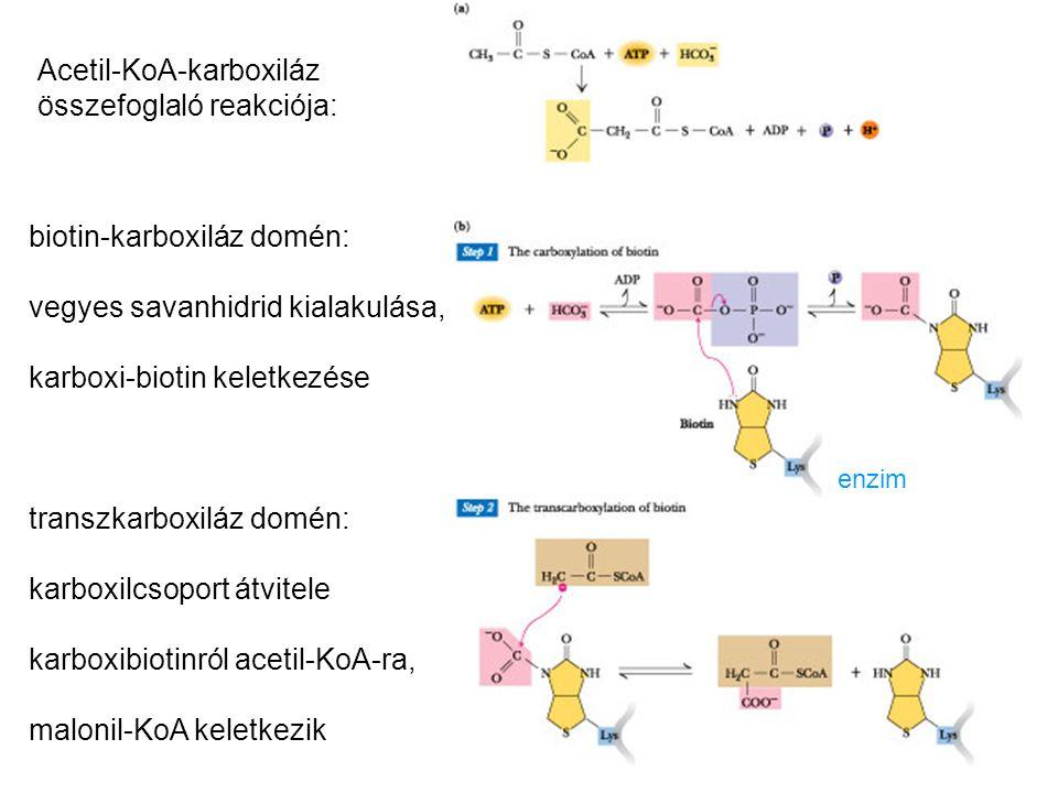 enzim Acetil-KoA-karboxiláz összefoglaló reakciója: biotin-karboxiláz domén: vegyes savanhidrid kialakulása, karboxi-biotin keletkezése transzkarboxil