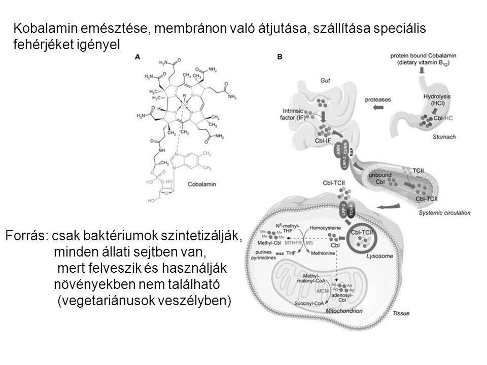 Kobalamin emésztése, membránon való átjutása, szállítása speciális fehérjéket igényel Forrás: csak baktériumok szintetizálják, minden állati sejtben v