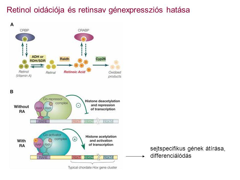 Retinol oidációja és retinsav génexpressziós hatása sejtspecifikus gének átírása, differenciálódás