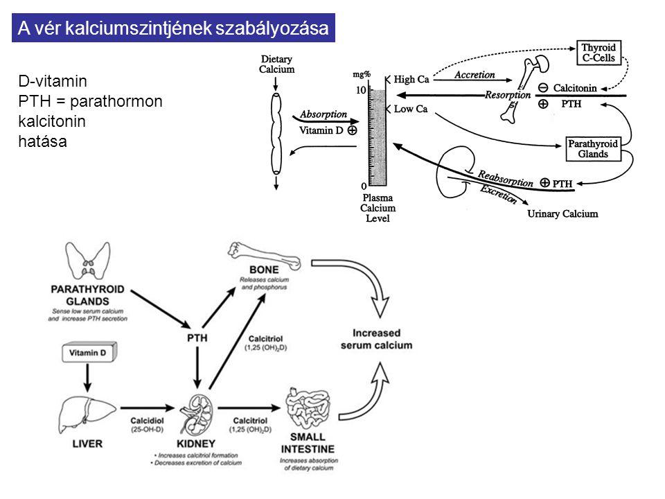 A vér kalciumszintjének szabályozása D-vitamin PTH = parathormon kalcitonin hatása