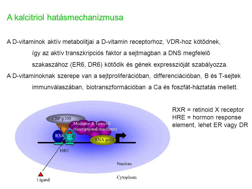 A kalcitriol hatásmechanizmusa A D-vitaminok aktív metabolitjai a D-vitamin receptorhoz, VDR-hoz kötődnek, így az aktív transzkripciós faktor a sejtma