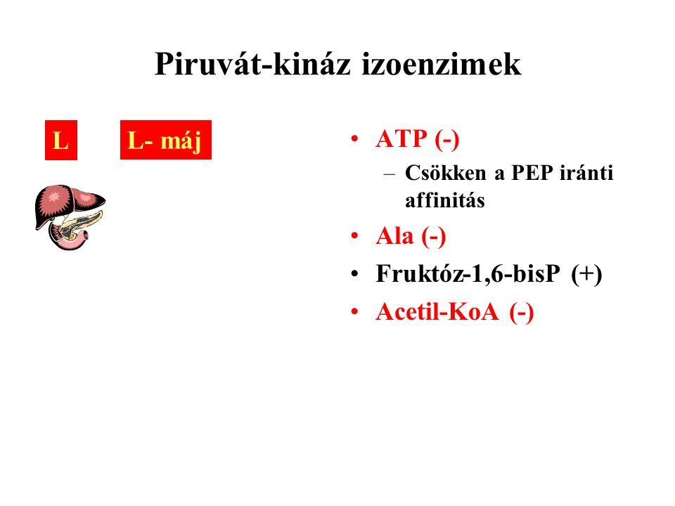 Piruvát-kináz izoenzimek ATP (-) –Csökken a PEP iránti affinitás Ala (-) Fruktóz-1,6-bisP (+) Acetil-KoA (-) L L- máj