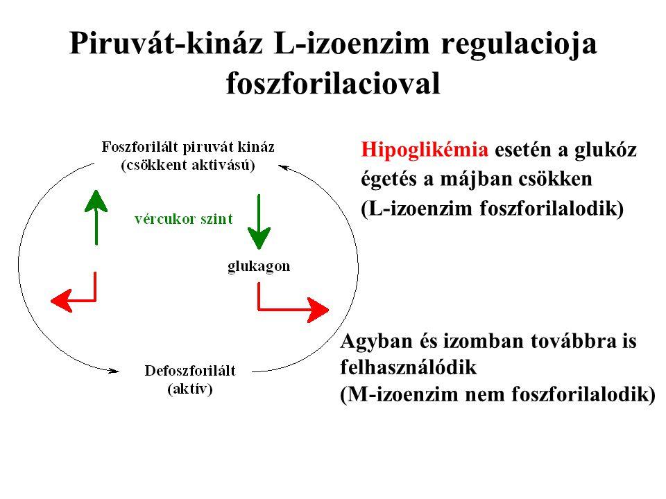 Piruvát-kináz L-izoenzim regulacioja foszforilacioval Hipoglikémia esetén a glukóz égetés a májban csökken (L-izoenzim foszforilalodik) Agyban és izom