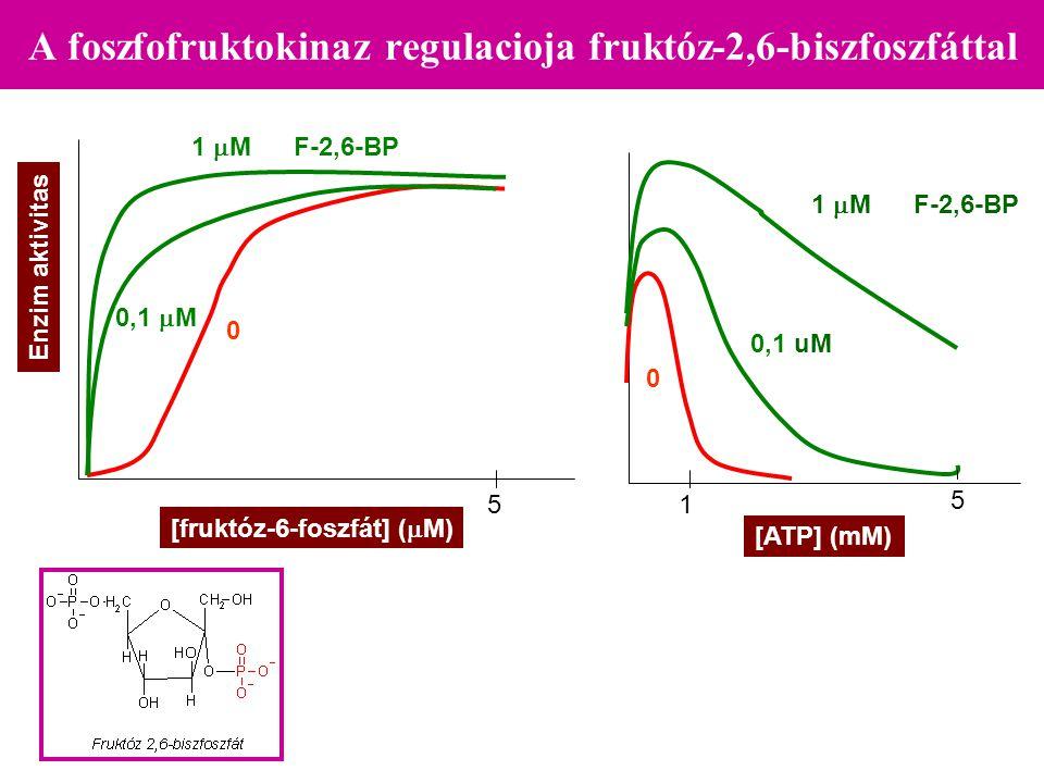 A foszfofruktokinaz regulacioja fruktóz-2,6-biszfoszfáttal 0 0,1  M 1  M F-2,6-BP [fruktóz-6-foszfát] (  M) 5 Enzim aktivitas [ATP] (mM) 0 0,1 uM 1