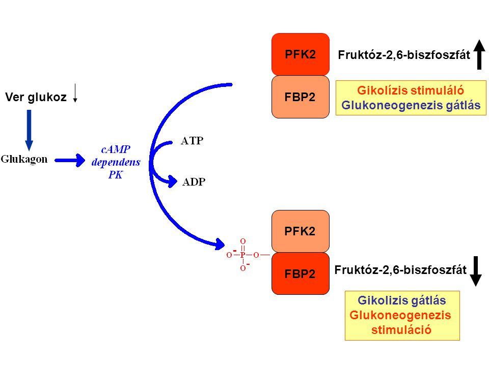 PFK2 FBP2 Fruktóz-2,6-biszfoszfát Gikolízis stimuláló Glukoneogenezis gátlás Gikolizis gátlás Glukoneogenezis stimuláció Ver glukoz