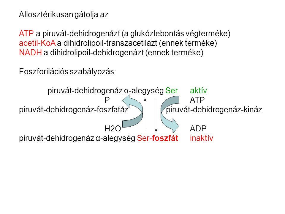 Allosztérikusan gátolja az ATP a piruvát-dehidrogenázt (a glukózlebontás végterméke) acetil-KoA a dihidrolipoil-transzacetilázt (ennek terméke) NADH a dihidrolipoil-dehidrogenázt (ennek terméke) Foszforilációs szabályozás: piruvát-dehidrogenáz α-alegység Ser aktív P ATP piruvát-dehidrogenáz-foszfatáz piruvát-dehidrogenáz-kináz H2O ADP piruvát-dehidrogenáz α-alegység Ser-foszfátinaktív