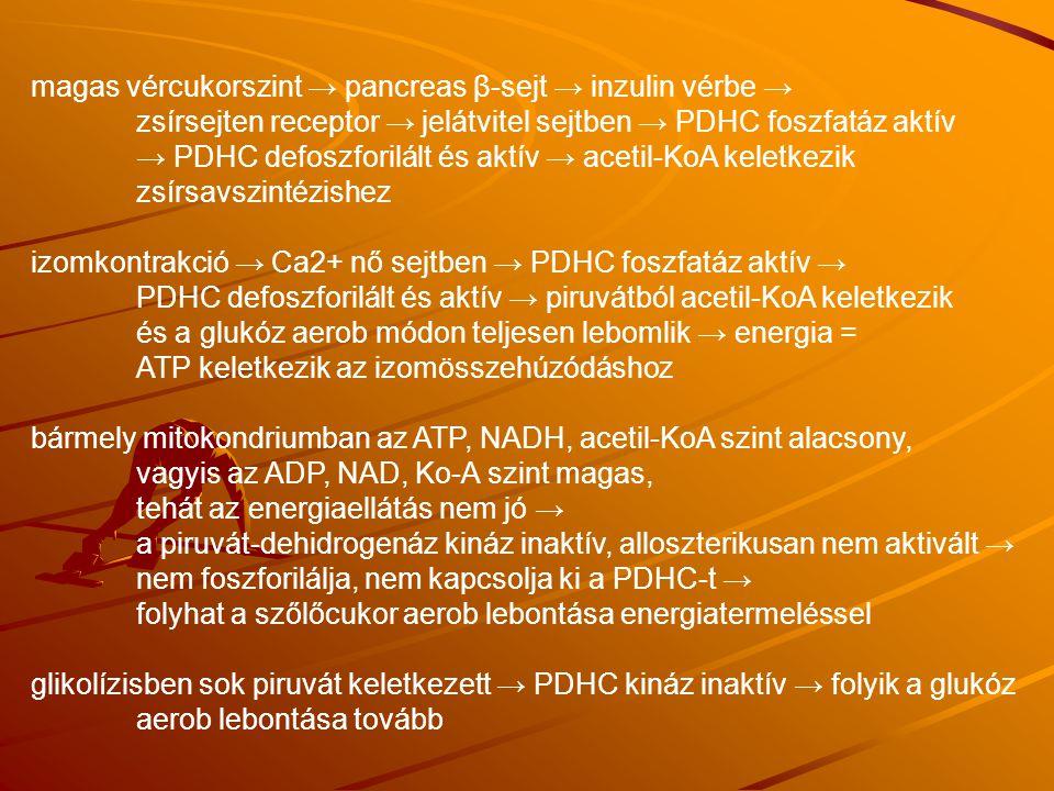 magas vércukorszint → pancreas β-sejt → inzulin vérbe → zsírsejten receptor → jelátvitel sejtben → PDHC foszfatáz aktív → PDHC defoszforilált és aktív → acetil-KoA keletkezik zsírsavszintézishez izomkontrakció → Ca2+ nő sejtben → PDHC foszfatáz aktív → PDHC defoszforilált és aktív → piruvátból acetil-KoA keletkezik és a glukóz aerob módon teljesen lebomlik → energia = ATP keletkezik az izomösszehúzódáshoz bármely mitokondriumban az ATP, NADH, acetil-KoA szint alacsony, vagyis az ADP, NAD, Ko-A szint magas, tehát az energiaellátás nem jó → a piruvát-dehidrogenáz kináz inaktív, alloszterikusan nem aktivált → nem foszforilálja, nem kapcsolja ki a PDHC-t → folyhat a szőlőcukor aerob lebontása energiatermeléssel glikolízisben sok piruvát keletkezett → PDHC kináz inaktív → folyik a glukóz aerob lebontása tovább