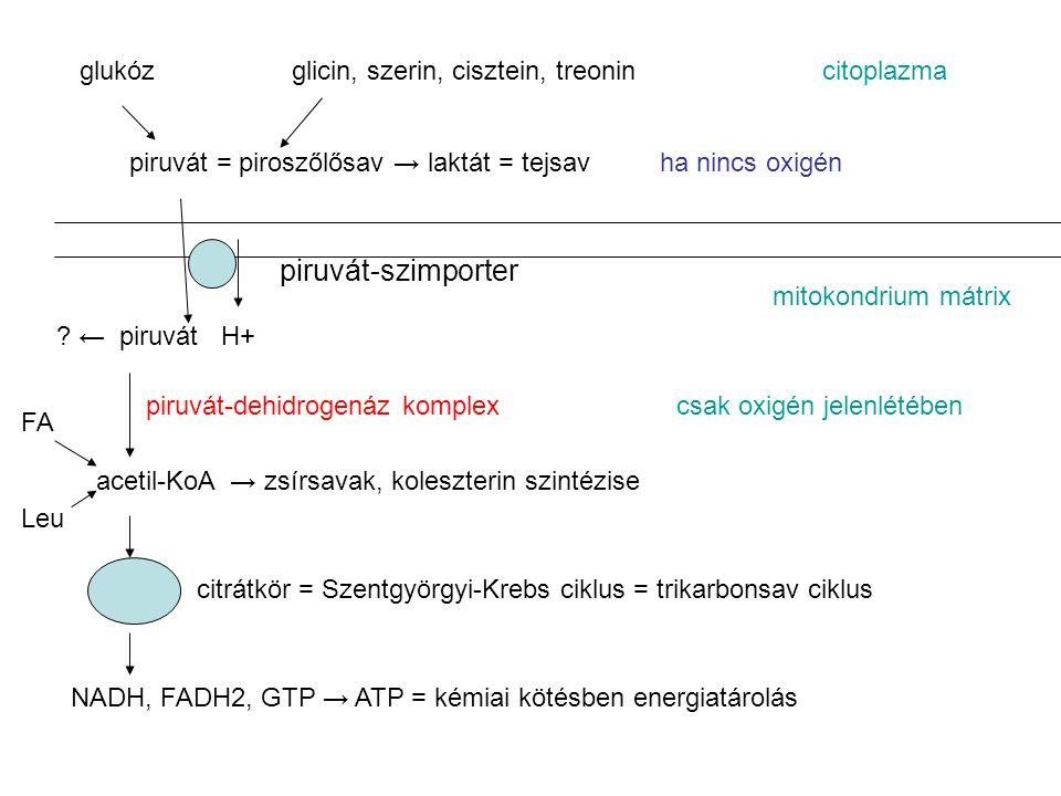 glukózglicin, szerin, cisztein, treonincitoplazma piruvát = piroszőlősav → laktát = tejsavha nincs oxigén .