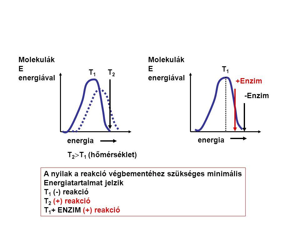 T1T1 T2T2 Molekulák E energiával Molekulák E energiával energia T 2  T 1 (hőmérséklet) T1T1 -Enzim energia +Enzim A nyilak a reakció végbementéhez szükséges minimális Energiatartalmat jelzik T 1 (-) reakció T 2 (+) reakció T 1 + ENZIM (+) reakció
