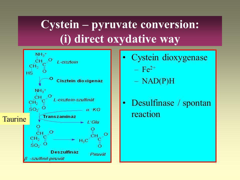 "Cystein – pyruvate conversion: 2 ways 2 ways –Direct oxydative: cystein sulfinate –Transamination: 3-merkaptopyruvate ""activ"" sulfate formation (3'- p"