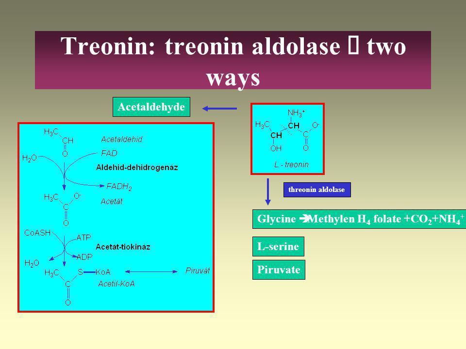 Amino acids - pyruvate L-Threonin L-Glycin L-Serin Piruvat Acetyl-CoA L-Alanin L-Cysteine Cystine CO 2 + NH 4 +