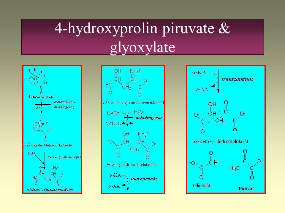 Glyoxylate is formed from 4- hydroxyprolin képződik 4-hidroxi-prolin Hidroxiprolin dehidrogenáz L-  1 -Pirroline-3-hidroxi-5-karboxilát Nem enzimatik