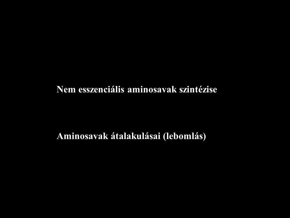 Nem esszenciális aminosavak szintézise Aminosavak átalakulásai (lebomlás)