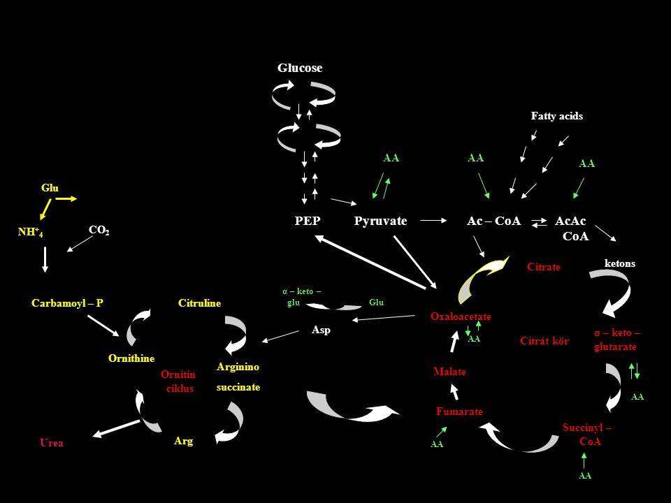 Glucose PEP Pyruvate Ac – CoA AcAc CoA Fatty acids AA ketons Glu NH + 4 CO 2 Carbamoyl – P Citruline Ornithine Arginino succinate Arg Urea Ornitin cik