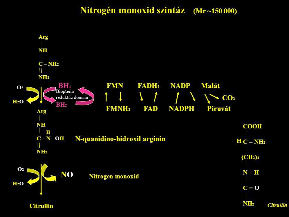 Nitrogén monoxid szintáz (Mr ~150 000) Arg NH C – NH 2 NH 2 = Arg NH C – N - OH NH 2 = H O2O2 H2OH2O BH 4 BH 2 Biopterin reduktáz domain FMN FADH 2 NA