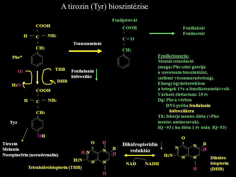 A tirozin (Tyr) bioszintézise COOH C CH 2 H NH 2 Phe* COOH C CH 2 H NH 2 OHOH O2O2 H2OH2O THB DHB Tyr COOH C = O CH 2 Transzamináz Fenilpiruvát Fenill