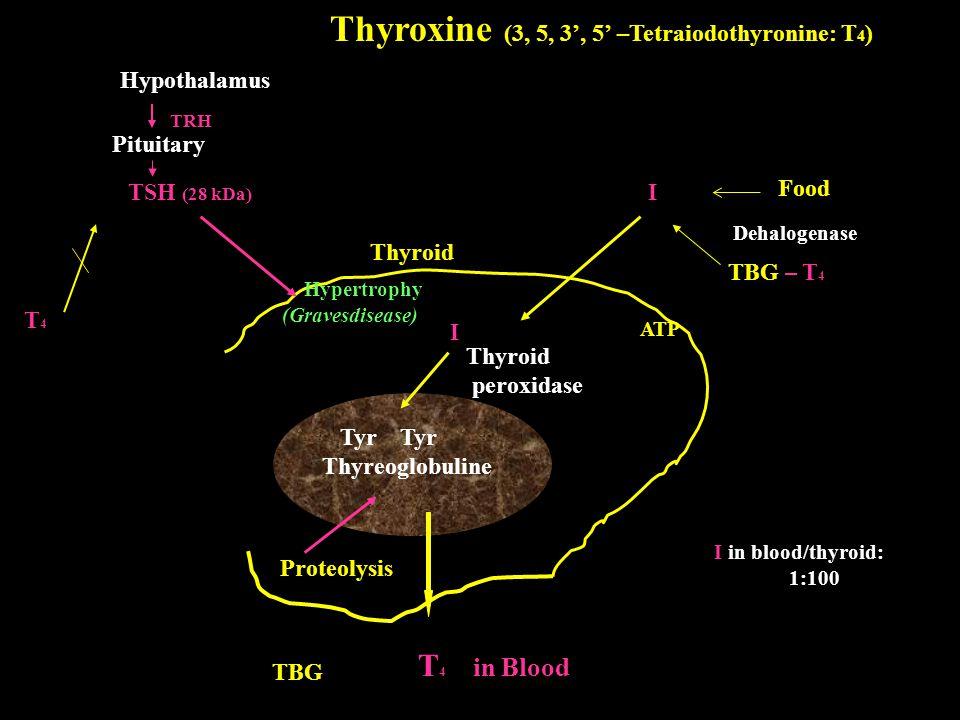Thyroxine (3, 5, 3', 5' –Tetraiodothyronine: T 4 ) Hypothalamus Pituitary TRH TSH (28 kDa) Hypertrophy (Gravesdisease) ATP T4T4 I I Tyr Tyr Thyreoglob