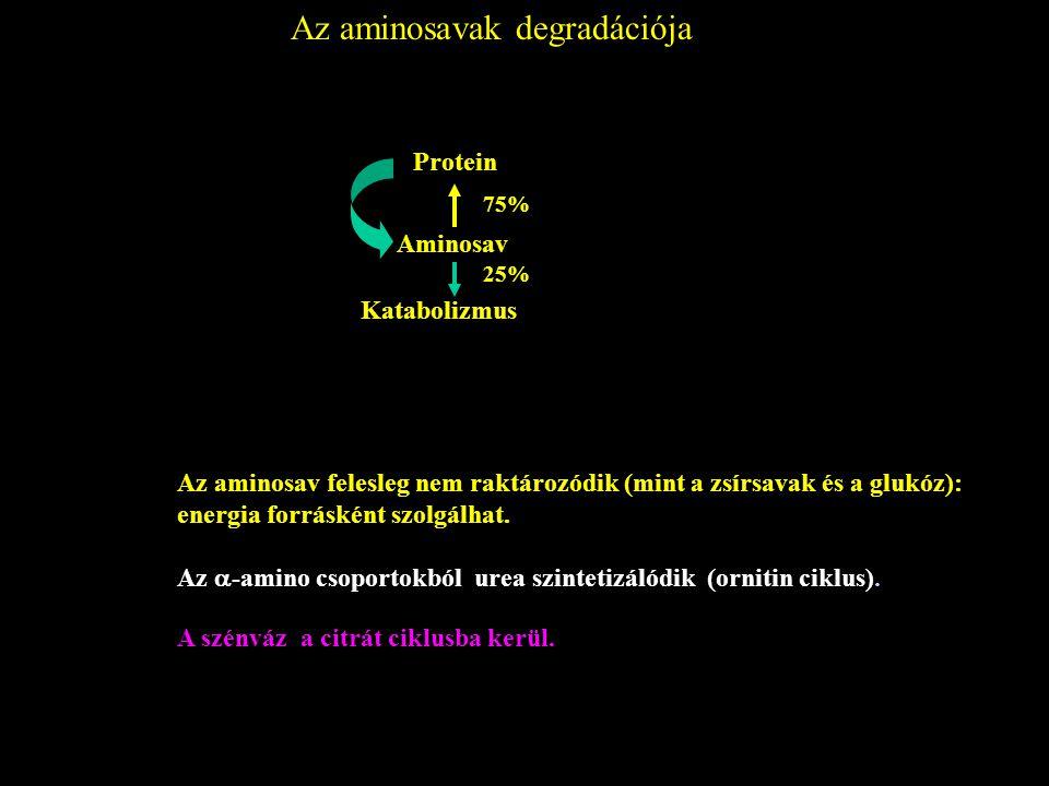 Az aminosavak degradációja Protein Aminosav Katabolizmus 25% 75% Az aminosav felesleg nem raktározódik (mint a zsírsavak és a glukóz): energia forrásk