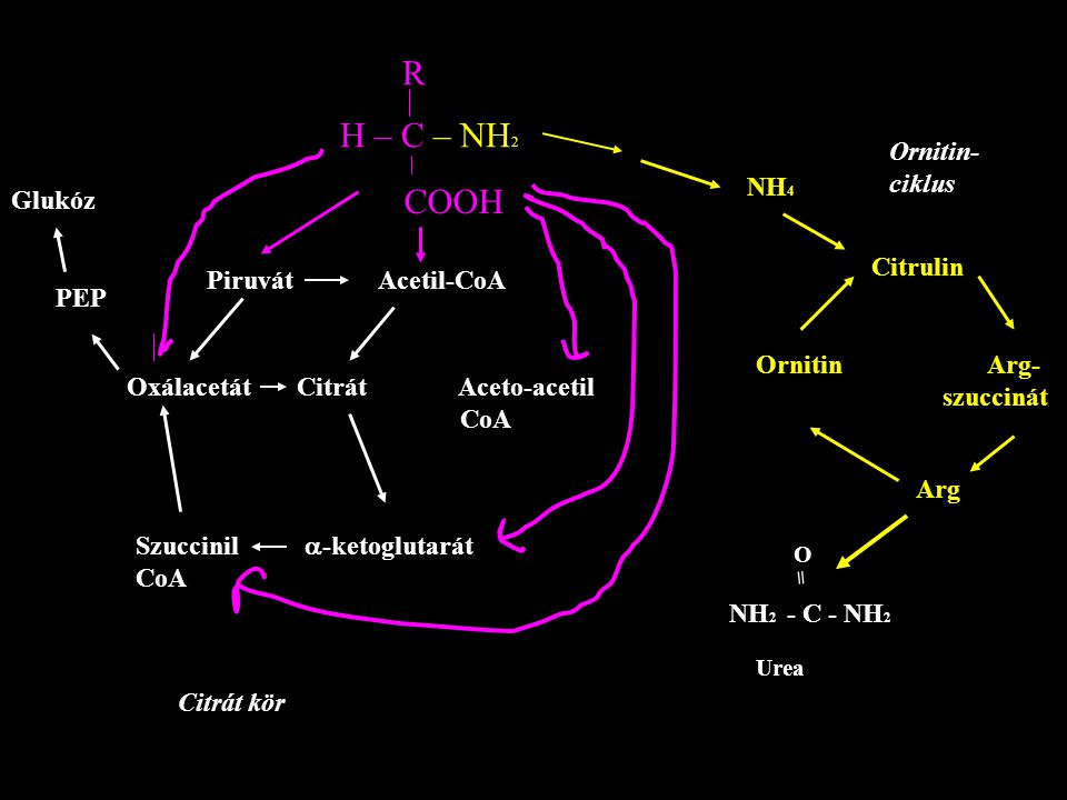 COOH C = O CH 2 OH p-Hydroxphenyl piruvat O2O2 CO 2 Hydroxyphenylpiruvate hydroxilase (a dioxygenase) CH 2 - COOH OHOH HOHomogentisate O2O2 Alcaptonuria Homogentisate oxidase Isomerase Hydrolase CH 3 – C – CH 2 - COOH O = Acetoacetate HOOC – C = C - COOH H H Fumarate