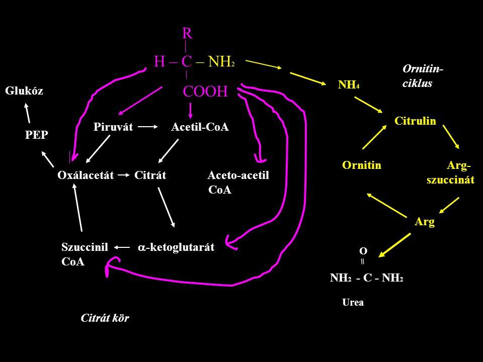 R H – C – NH 2 COOH Piruvát Acetil-CoA Oxálacetát Citrát Aceto-acetil CoA Szuccinil  -ketoglutarát CoA Glukóz PEP NH 4 Citrulin Ornitin Arg- szucciná