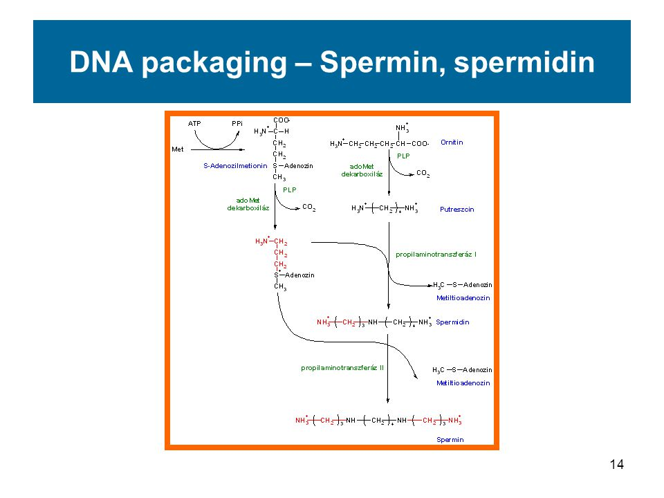 14 DNA packaging – Spermin, spermidin