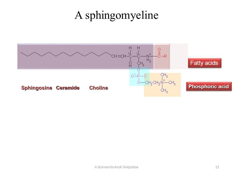 A sphingomyeline A biomembránok felépítése11 SphingosineCeramideCholine Phosphoric acid Fatty acids