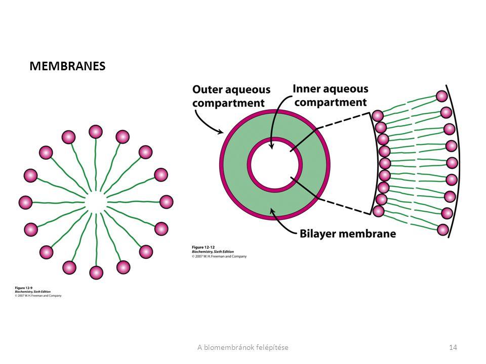 MEMBRANES A biomembránok felépítése14